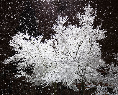 Freshly Falling Snow and an Illuminated Tree - p555m1453652 by Spaces Images