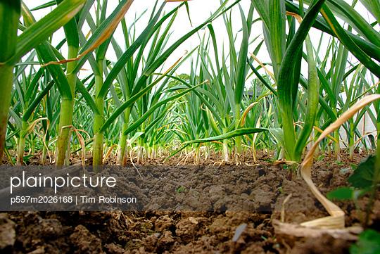Gemüsefeld - p597m2026168 von Tim Robinson