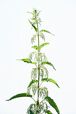 Stinging nettle - p1203m1502866 by Bernd Schumacher