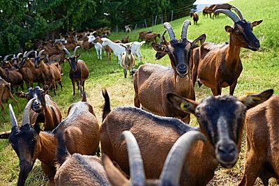 Goats - p1203m1025885 by Bernd Schumacher