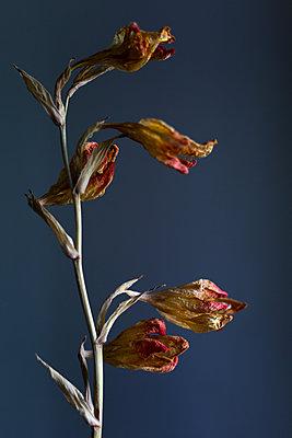Trockene Gladiole - p1308m2247431 von felice douglas