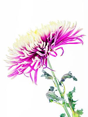 Chrysanthemum flower - p401m2272896 by Frank Baquet
