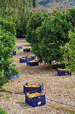 Orange harvest - p8850115 by Oliver Brenneisen