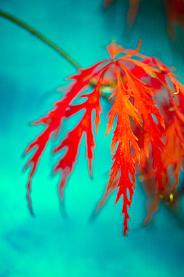 Autumnal Japanese Maple leaf - p1047m1203550 by Sally Mundy