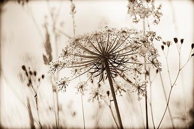 Flower umbels - p1682m2263436 by Régine Heintz