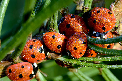 Wet seven-spotted ladybirds, Coccinella septempunctata, at sunlight - p300m979026f by Mark Johnson