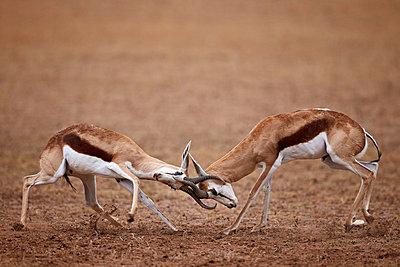 Two springbok  bucks fighting, Kgalagadi Transfrontier Park, encompassing the former Kalahari Gemsbok National Park, South Africa, Africa - p871m1056785f by James Hager
