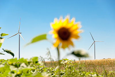 Sonnenblume mit Windkarftanlagen - p1079m1184965 von Ulrich Mertens