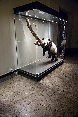 Taxidermied panda in museum  - p739m1109097 by Baertels