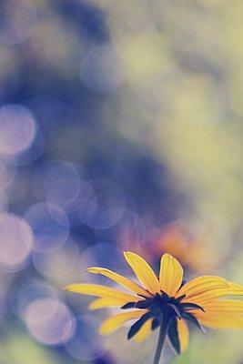 Gelbe Sommerblume - p879m2133669 von nico