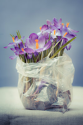Blossoming crocuses in a small plastic bag - p948m2134082 by Sibylle Pietrek