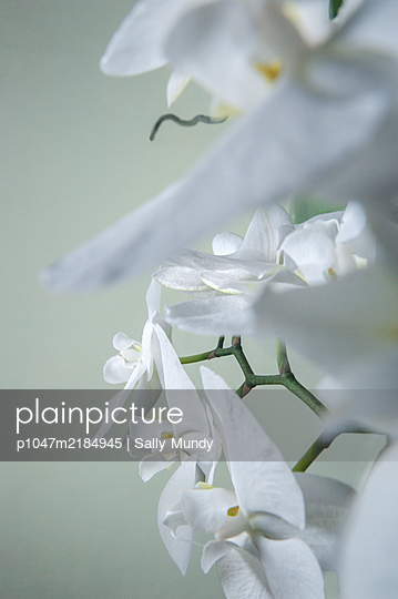 Orchid plant full of white flowers - p1047m2184945 by Sally Mundy