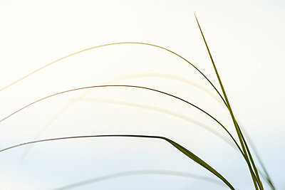 Grass on white background - p312m996573f by Mikael Svensson