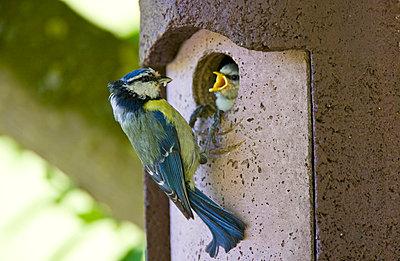 Bluetit bird feeding hungry young nestling in a garden bird box - p871m873374 by Tim Graham