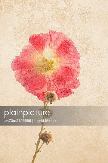 Hollyhock - p470m2128896 by Ingrid Michel