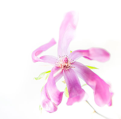 Magnolienblüte - p1510m2087281 von Ingrid Amenda