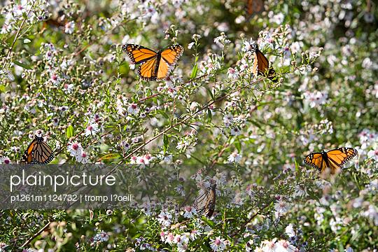 Monarchfalter - p1261m1124732 von tromp l'oeil