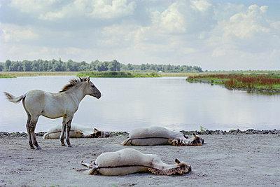 Przewalski horses - p1132m1017013 by Mischa Keijser