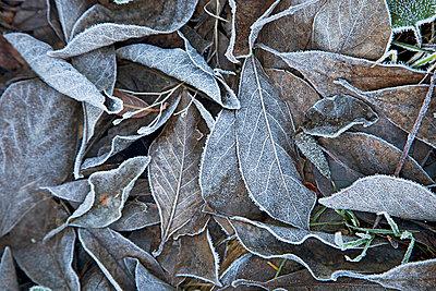 Leaves in winter - p3820198 by Anna Matzen