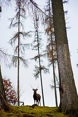 Red Deer stag in the vicinity of Marburg, Germany - p6521021 by Carlos Sanchez Pereyra