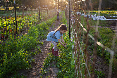 Young girl on farm, picking sugar snap peas - p924m1495003 by Kinzie Riehm