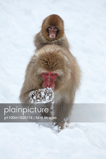 Japanese Macaque, Macaca fuscata, carrying young in the winter snow. - p1100m1520174 by Mint Images