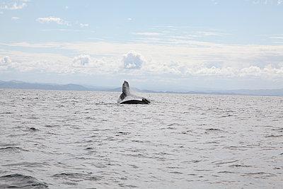 Seductive dance of the humpback whale - p1513m2039161 by ESTELLE FENECH