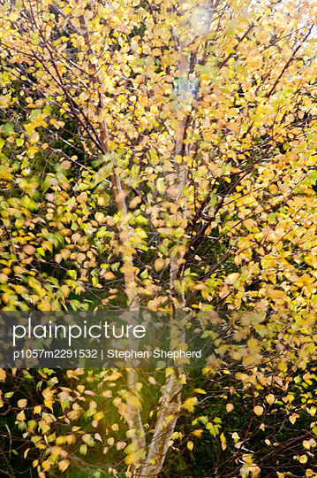 Creative soft focus photograph of a tree moving in the wind and dropping autumn coloured leaves. - p1057m2291532 by Stephen Shepherd