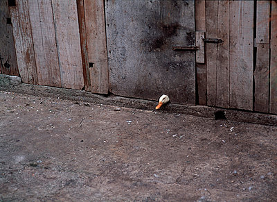 Curious duck through the peephole on wooden wall - p1025m789029f by Rune Andersson