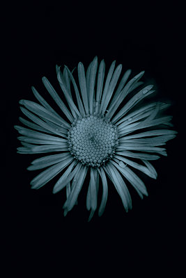 Daisy (Erigeron glabellus) - p1028m2215582 by Jean Marmeisse