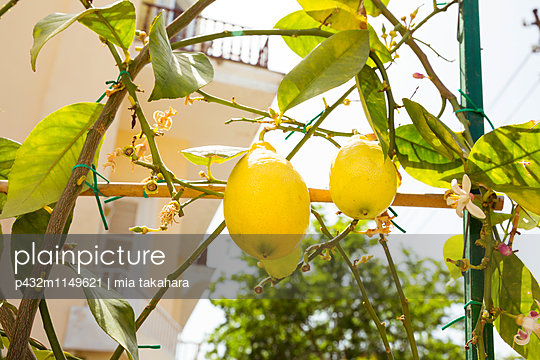 Zitronenbaum auf Capri - p432m1149621 von mia takahara