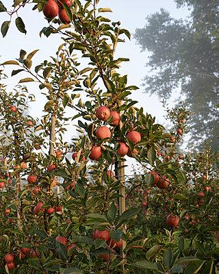 Apfelbaum - p1124m1069646 von Willing-Holtz