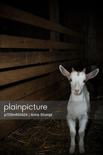 Goat in the dark - p703m833424 by Anna Stumpf