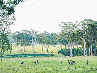 Australia, Kangaroo Valley, Mob of kangaroos (Macropodidae) - p1427m1553670 by WalkerPod Images
