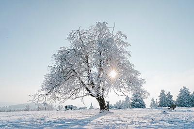 Verschneiter Baum vor blauem Himmel - p586m2005111 von Kniel Synnatzschke