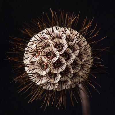 Scabiosa Seed Pod against Dark Background - p694m2068213 by Lori Adams