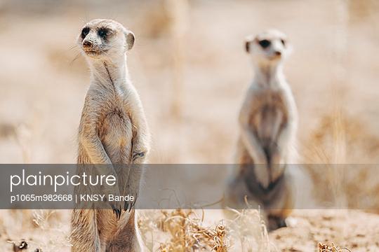 Zwei Erdmännchen, Kalahari, Südafrika - p1065m982668 von KNSY Bande