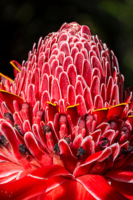 Beautiful and colorful pink and red flower details on the rainforest - p1166m2137500 by Cavan Images