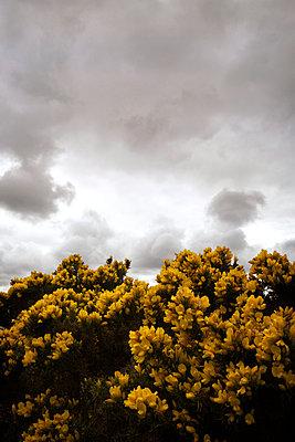 Gorse bush in flower  - p597m1161398 by Tim Robinson