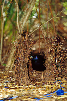 Satin Bowerbird male displaying blue objects near the bower to attract the female - p8844530 by Cyril Ruoso