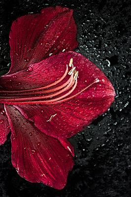 Amaryllis - p971m1196169 by Reilika Landen