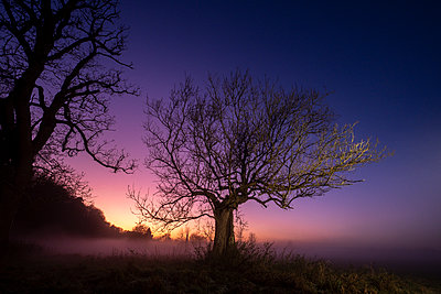 Large old leafless trees in silhouette in a field during a winter sunset with low rising mist and deeply coloured sky. - p1057m2142804 by Stephen Shepherd