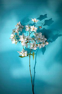 Sprig of jasmine flowers - p1248m2008576 by miguel sobreira