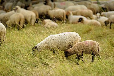 Schafherde in hohem Gras - p1273m1198503 von Melanka Helms