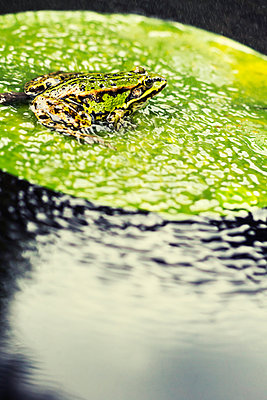 Frog on water lily leaf - p739m1044767 by Baertels