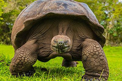 Giant Tortoise feeding on grass, Giant Tortoise Reserve, Santa Cruz, Galapagos, Ecuador, South America - p871m2209764 by Spencer Clark