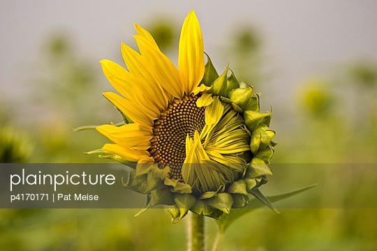 Sonnenblumen - p4170171 von Pat Meise