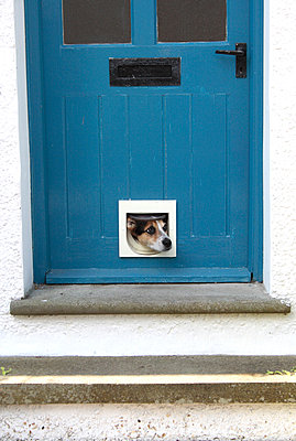 Dog in a cat flap - p1121m931624 by Gail Symes