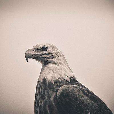 Bald Eagle Portrait - p1072m993347 by Neville Mountford-Hoare
