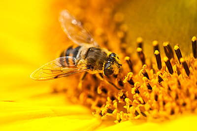 Bee collecting pollen from sunflower - p30017377f by Roman Märzinger
